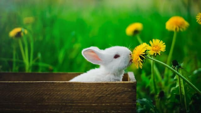 white bunny nipping at yellow flower