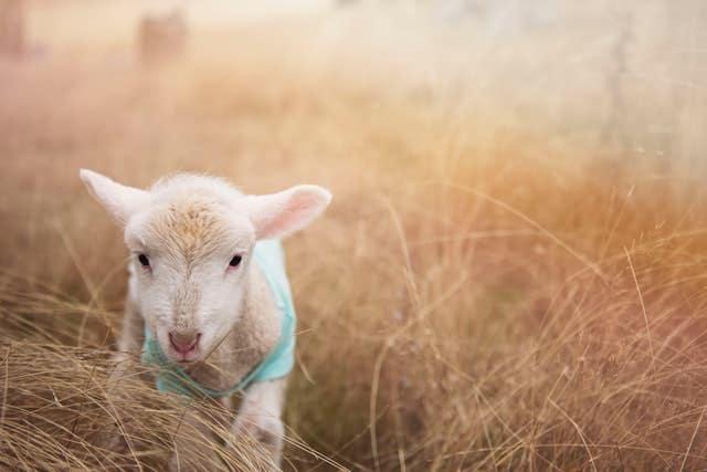baby sheep in warm light setting