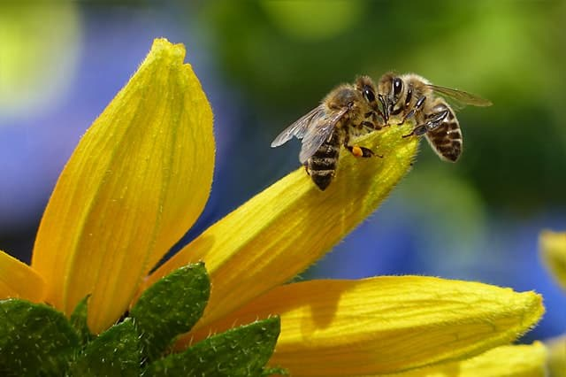 Two honeybees harvesting nectar from a yellow flower.